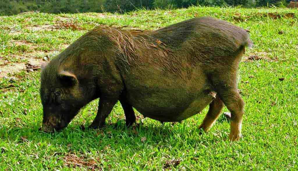 Vietnam Reisen - Vietnamesisches Hängebauchschwein (Originalbild Mirango Travel)