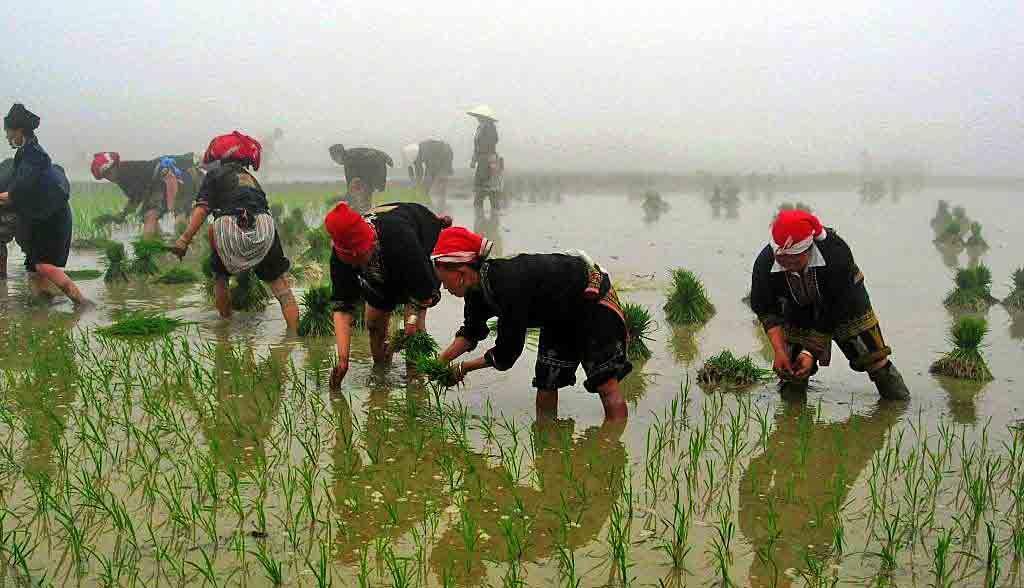 Vietnam Reisen - H'mong Frauen pflanzen Reis in einem Dorf in Nordvietnam (Originalbild Mirango Travel)