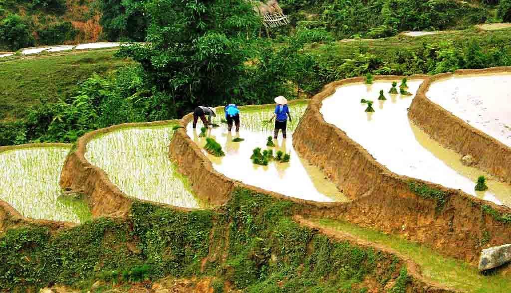 Vietnam Reisen - Bauern pflanzen Reis auf den Reisterrassen (Originalbild Mirango Travel)